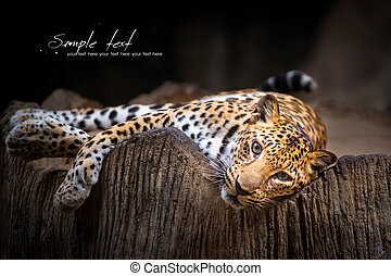 Leopard - Indochinese Leopard