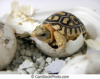 Leopard tortoise baby - Hatching leopard tortoise...