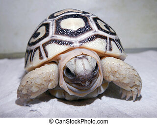 Leopard tortoise baby - Leopard tortoise (Stigmochelys...
