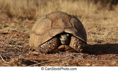 Leopard tortoise - Close-up of a wary leopard tortoise...