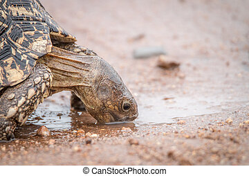 Leopard tortoise drinking in the Kruger National Park.
