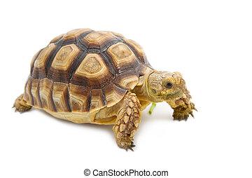 Leopard Tortoise (Geochelone pardalis) isolated on white...