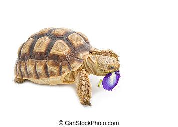 Leopard Tortoise (Geochelone pardalis) eating flower, on...