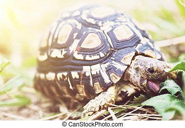 Leopard tortoise - Geochelone pardalis eating green leaves....
