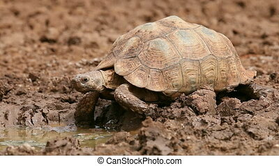 Leopard tortoise (Stigmochelys pardalis) at a waterhole,...