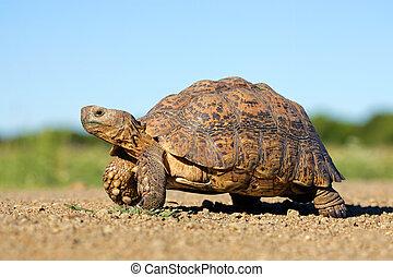 Leopard tortoise - Leopard or mountain tortoise...