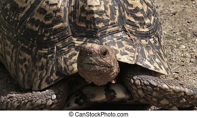 Leopard tortoise (Geochelone pardalis) large and...