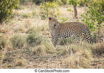 Leopard walking in the grass.