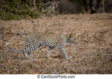 Leopard walking in the Kruger National Park, South Africa.