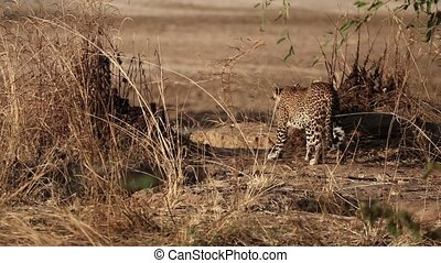Rear view of spectacular wild leopard walking in the savannah in super slow motion