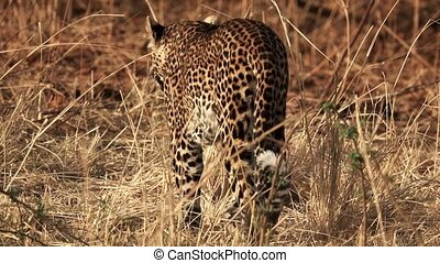 Rear view of spectacular Leopard walking in the savannah