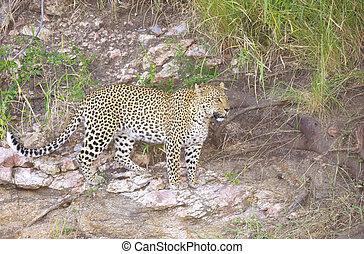 Leopard walking in wilderness