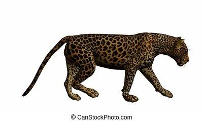 Leopard Walking - Leopard walking on a white background