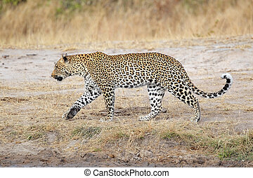Leopard walking - Male leopard (Panthera pardus) walking,...