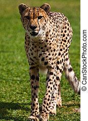Leopard walking on the grass