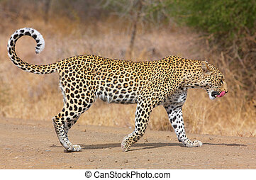 Leopard walking on the road - Leopard (Panthera pardus)...