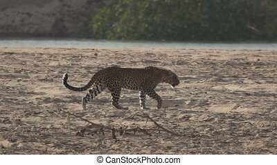 Leopard walking on the sand near river - Isolated leopard...