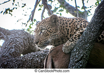Leopard with an Impala kill in a tree.