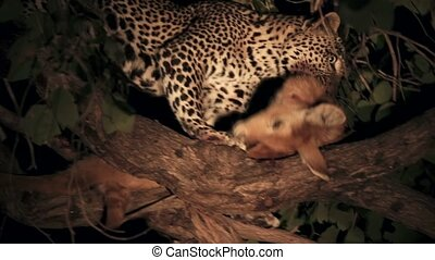 Leopard with its prey, a puku in a tree branch - Night view ...