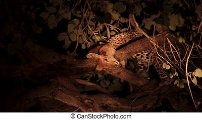 Leopard with its puku prey over a tree branch - Night view ...