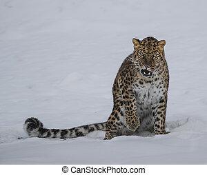 leopardo amur, em, triplo, d, jogo, em, montana
