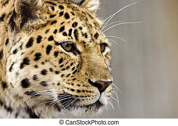 leopardo, cicatrizarse