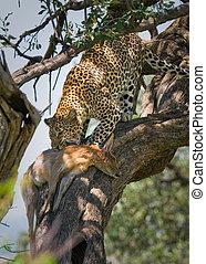 leopardo, comer, impala