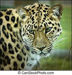 leopardo de amur