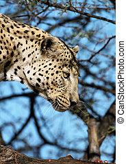 leopardo, fuoco, su, testa