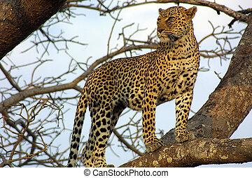 leopardo, guarda