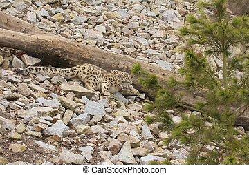leopardo, neve, appostando