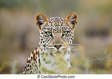 leopardo, retrato