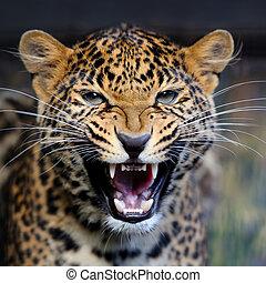 leopardo, retrato, em, natureza
