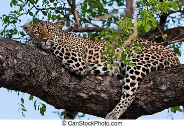 leopardo, tanzania, parque, nacional