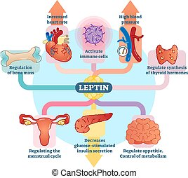 leptin, hormoon, diagram., illustratie, vector, rol, ...