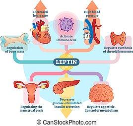 leptin, hormoon, diagram., illustratie, vector, rol,...