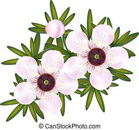 leptospermum., just, te, leaf., träd, blomningen, eller, ...