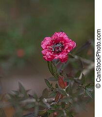 Leptospermum scoparium Burgundy Queen - Ruby red flower of...