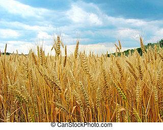 les, champ blé