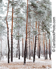 les, pokrytý, jíní, borovice