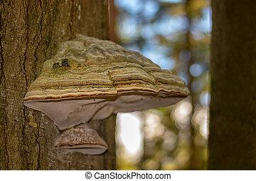 les, polyporus, -, strom, houba, kufr