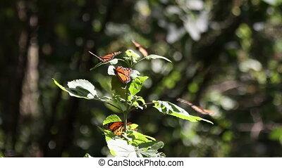 les, surprenant, papillon monarque, sanctuaire, dans,...