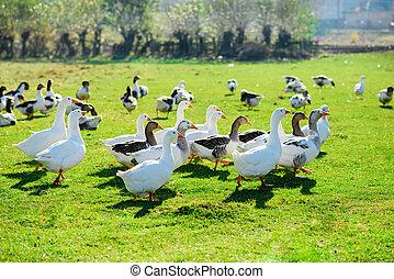 les, troupeau, de, blanc, adulte, oies, pâturage, à, les,...