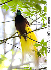 Lesser Bird of Paradise or Paradisaea minor. One Of the most...