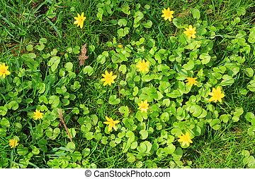 Lesser celandine - Blooming lesser celandine (Ficaria verna...