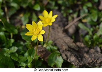 Lesser celandine yellow flower - harbinger of spring - Latin...