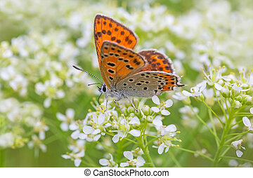 butterfly sitting on white flowers