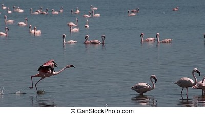 Lesser Flamingo, phoenicopterus minor, Adult in Flight,...