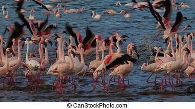 Lesser Flamingo, phoenicopterus minor, Colony at Bogoria...