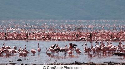Lesser Flamingo, phoenicopterus minor, Group in Flight,...